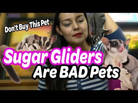 Sugar Gliders are Bad Pets   Why NOT to Buy a Sugar Glider