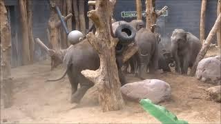 Olifanten Warwar en Kyan @Dierenpark Amersfoort