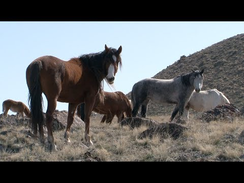 , title : 'The Story of America's Wild Horses and Burros