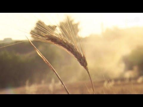 Storie e persone: il grano siciliano