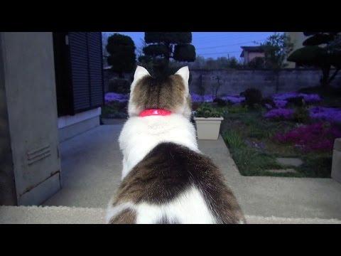 【夕暮れ時の猫】Cats enjoy quietly at dusk. (видео)
