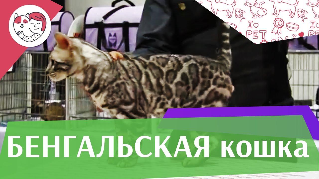 КОШКИ ПОРОДА  БЕНГАЛЬСКАЯ ЗООШОУ 2016 на ilikepet