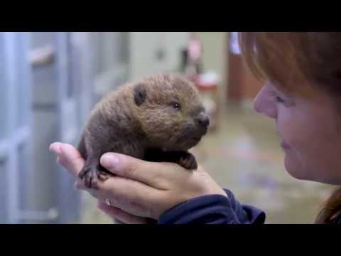 The Cuteness of This Sweet Baby Beaver Is Unbearable!