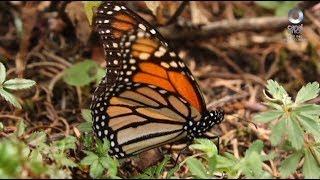 Especiales Noticias - Las monarcas en su santuario