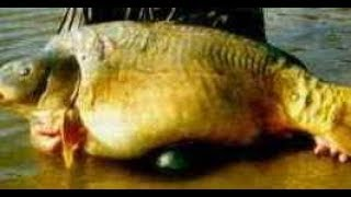 Видео сомов чернобыля