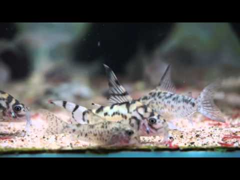 corydoras vulcan corydoras  (called sp. zebrina before)