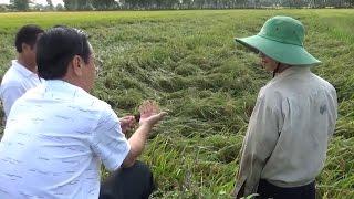 Tin Tức 24h: Giá lúa hè thu tại Đồng bằng sông Cửu Long giảm mạnh