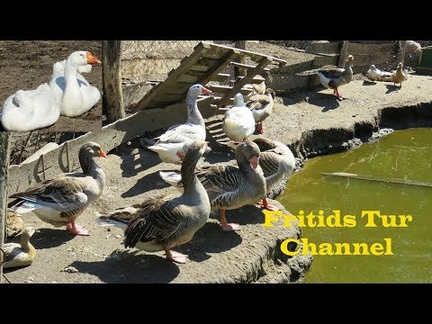 , title : 'Domestic Goose breeds : Kholmogory geeses, Toulouse gooses,Tula goose