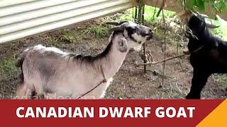Canadian Dwarf Goat