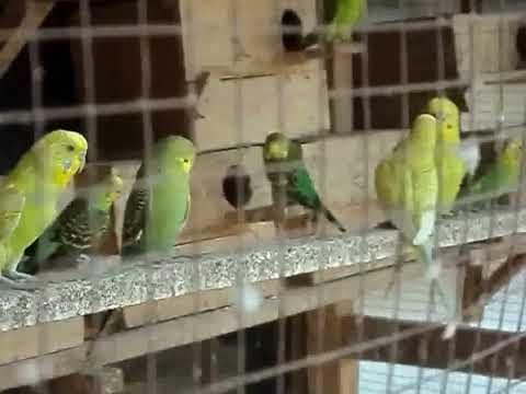 Video Ternak Burung Parkit Model  Kandang Bersusun Cara Tepat Berivestasi  Modal Cepat Kembali