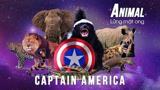 Lửng mật ong - Captain America trong thế giới loài vật