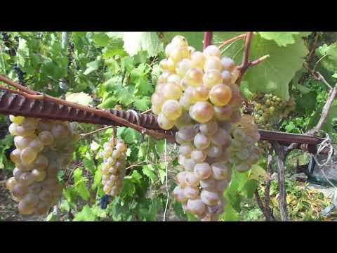"""Виноград """"Ркацители"""" - лучший старинный винный сорт."""