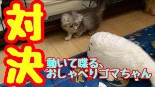 反応が可愛い過ぎた!子猫vs動くおしゃべりゴマちゃん!むぎふわkitten