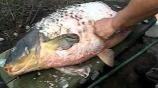 Чернобыльская рыбка