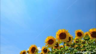 Summer Nature Sound in Japan/Cicada Shrilling 120min