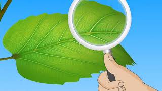 Structure And Functions Of Leaves