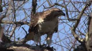 Red Tailed Hawk Juvenile Learning to Hunt