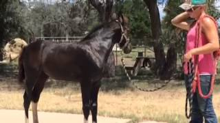 Training your foal to lead