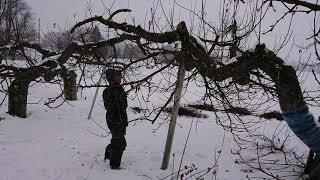 【農業ASMR】雪の中の林檎剪定(品種:王林)