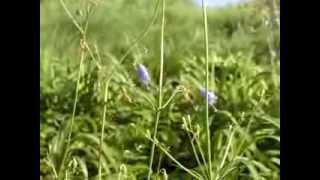 〈季寄〉秋の草ツリガネニンジンHaikuSeasonWords