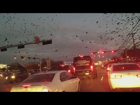 Как в фильме ужасов: Пугающее нашествие птиц в Техасе
