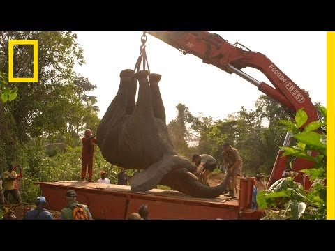 Moving An Elephant Looks Absolutely Crazy
