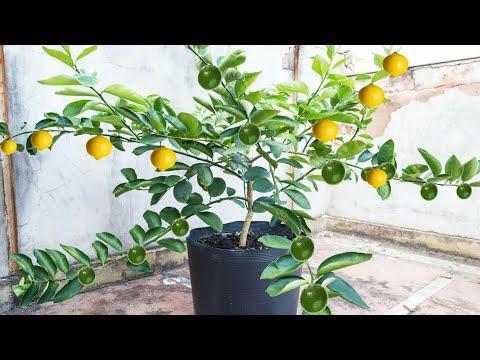 Como ter limão anão em vasos (alporquia)?