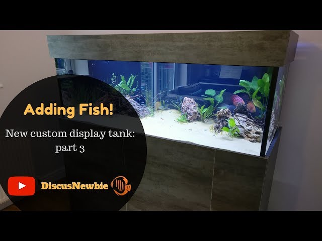 Discus Unboxing - adding fish to custom Discus display tank. Acclimatising new discus fish