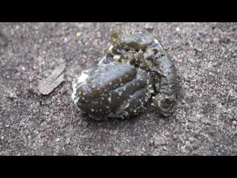 Der Irbis das Mittel gegen die Würmer