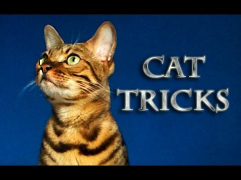 Amazing Cat Tricks by Kaiser the Bengal