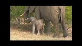 10-23-2015 WildEarth SafariLive Sunrise - amazing elephant calf
