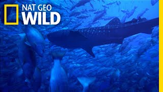 Why Whale Sharks Wait For This Full Moon Feast | Nat Geo Wild