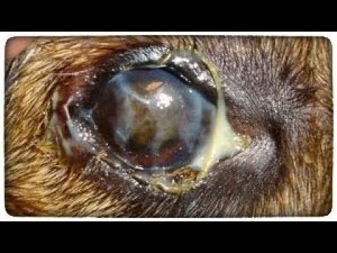 Закисают глаза у собаки. Что делать? Как лечить?