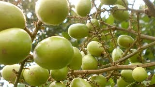15 Benefits Of Fruits Matoa For Health