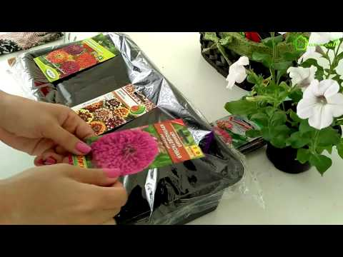 Выращивание рассады ЦИНИИ из семян