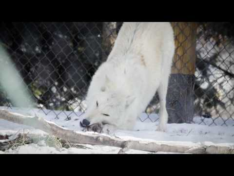 Wolf Enrichment