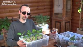 Баклажаны. Рассада. Агротехика. Выращивание Баклажанов от Фролова Ю.А.