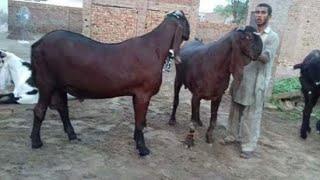 2020 Lahore remind ripened 2 - گوٹ فارم محمدصابر03354746487