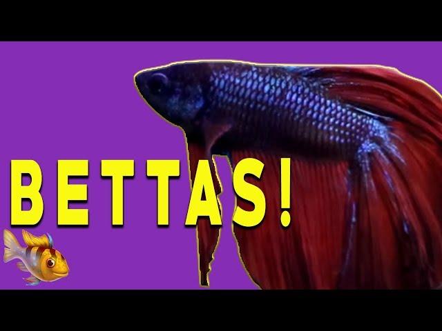 Betta Fish 10 Gallon Tank Setup ~ Three Of Our Bettas!
