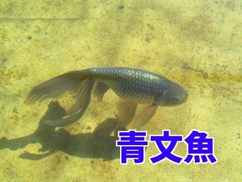 【4K】青文魚(金魚)Goldfish