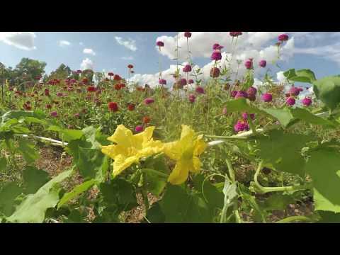 Apertura de la flor de la calabaza Luffa (vídeo)