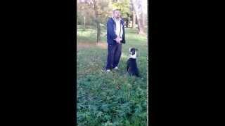 preview picture of video 'Amstaff Pruszków,amstaff,pies morderca:) pruszków,tresura,chodzenie po drzewach'