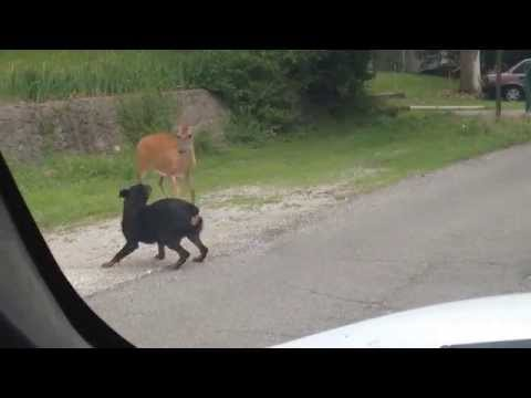 Deer Vs. Dog