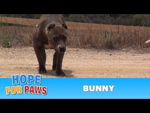 The Rescue of Bunny the Pit Bull