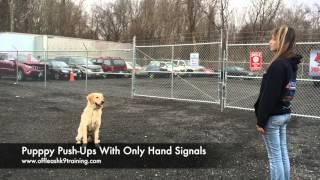1-Year Old Golden Retriever, Herbie!  Trained Golden Retrievers Virginia | Dog Trainers