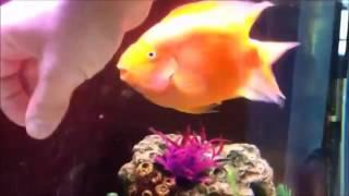 Фантастика! Каждый вечер эта рыбка с нетерпением ожидает хозяев  И вы никогда не