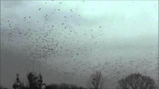 preview picture of video 'Saatkrähenschwarm - Thousands of rooks'