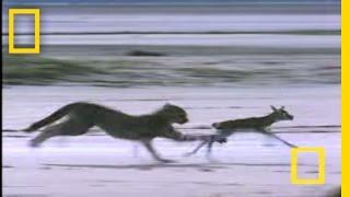Cheetah Jumps Gazelle | National Geographic thumbnail