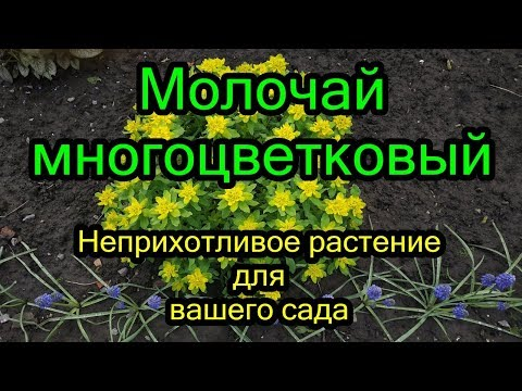 #Молочай многоцветковый весной. Неприхотливое растение для вашего сада.