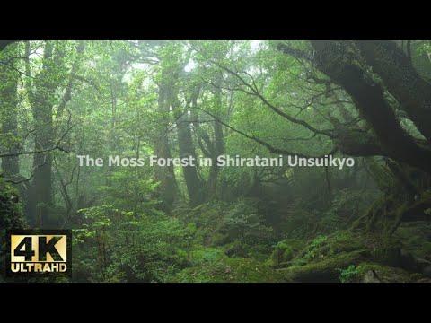 【屋久島の音/ASMR】白谷雲水峡・苔むす森【4K/Ultra HD】